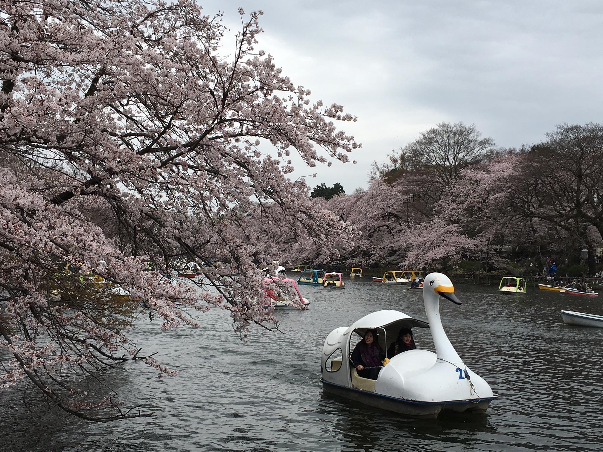 桜‗井の頭公園