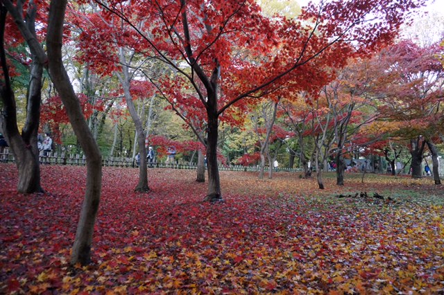 都立神代植物公園 紅葉の絨毯