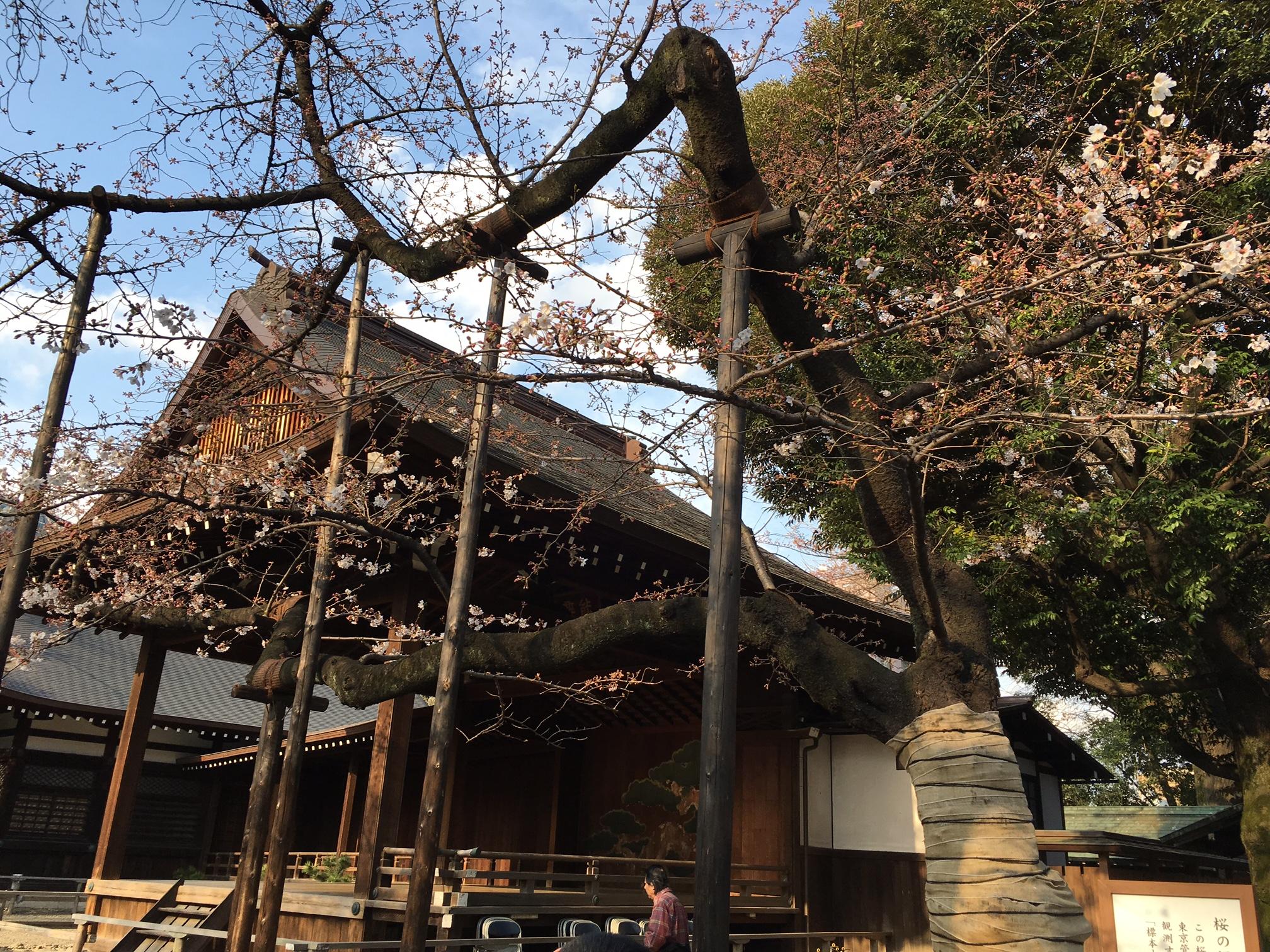 桜‗靖国神社‗標本木