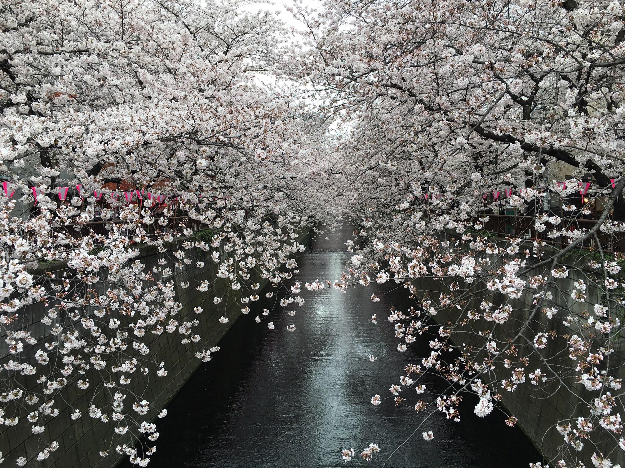 桜‗目黒川