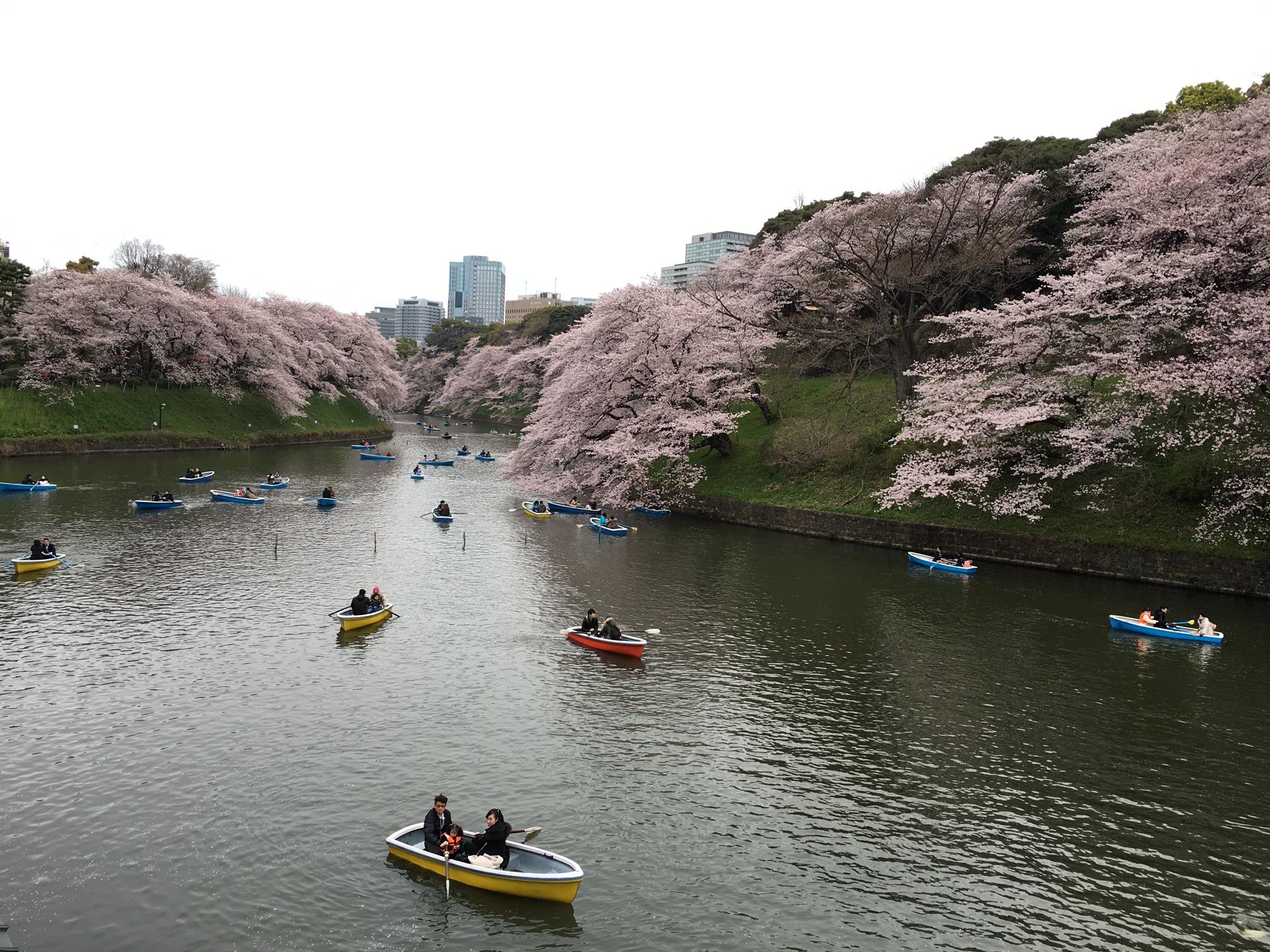 桜‗千鳥ヶ淵
