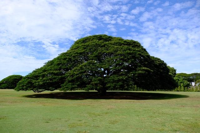 ハワイ モアナルアガーデン この木なんの木 日立の樹